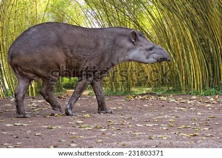 Sud american Tapir close up portrait in the jungle - stock photo