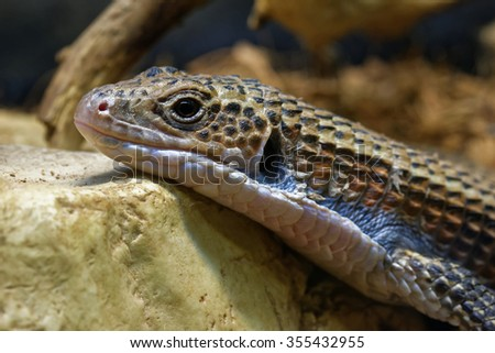 Sudan plated lizard (Gerrhosaurus major), also known as the Western plated lizard, great plated lizard or rough-scaled plated Lizard is a lizard of the Gerrhosauridae family. - stock photo