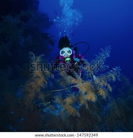 SUDAN, Red Sea, U.W. photo, diver and Black Coral (Family Antipathidae) - stock photo