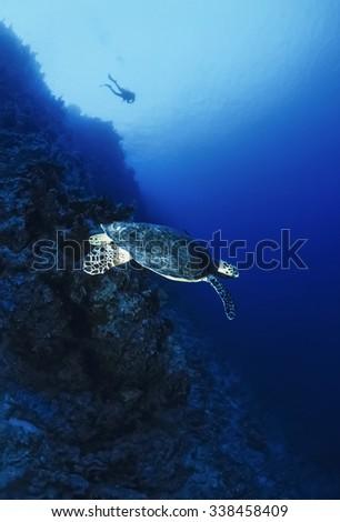 SUDAN, Red Sea, U.W. photo, Sea turtle (Caretta caretta) - FILM SCAN - stock photo