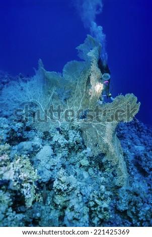 SUDAN, Red Sea, U.W. photo, tropical Sea Fan (Gorgonia ventalina) and a diver - FILM SCAN - stock photo