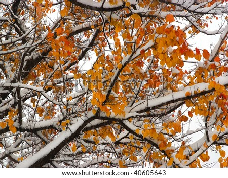sudden snowfall in the fall oak forest - stock photo