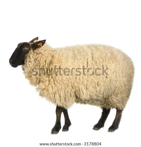 Suffolk Sheep in front of a white background - stock photo