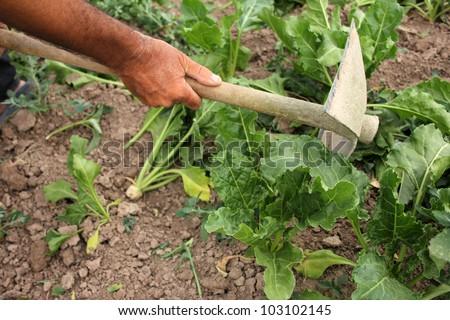 Sugar Beet - stock photo