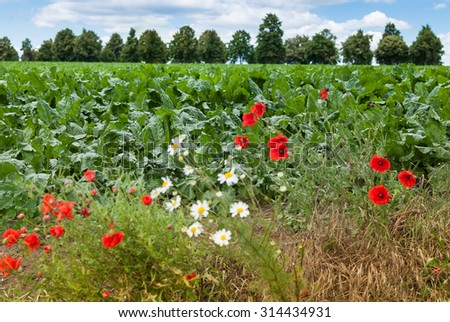 Sugar beet field landscape background  and red poppy and white daisy flowers blurred with wind in the forefront - stock photo