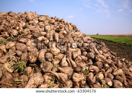 Sugar beet pile at the field after harvest - stock photo