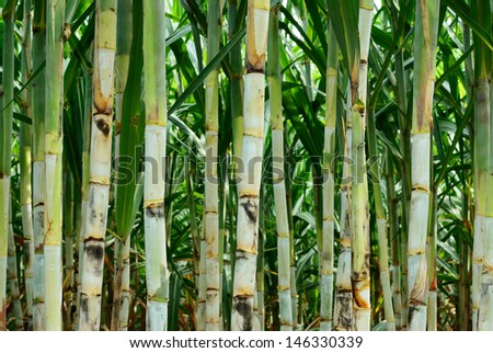 Sugar cane after plant for six month more - stock photo