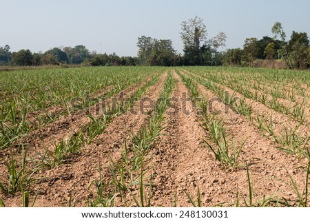 Sugar cane as early growth field in rural of Thailand - stock photo