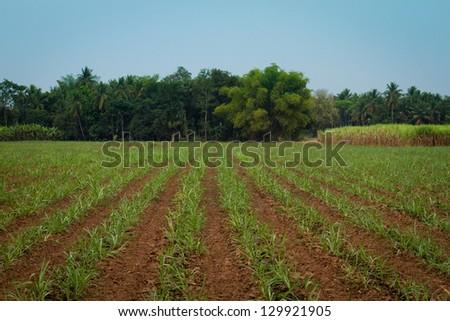 sugar cane farmland - stock photo