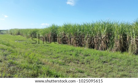 Sugar Cane Field in Queensland, Australia