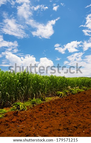Sugar Cane Field-Saccharum officinarum, Okinawa Prefecture/Japan, 2013/6/17.  - stock photo