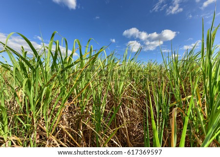 Sugar Cane Fields In A Plantation Guayabales Cuba