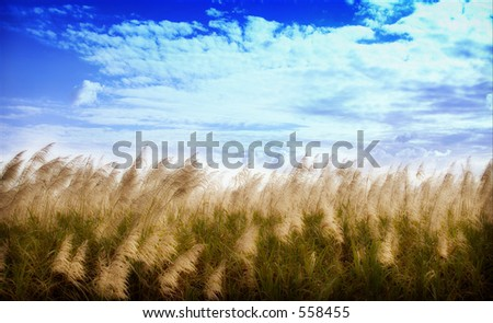 Sugar-cane flower heads bending to the breeze just prior to harvest. - stock photo