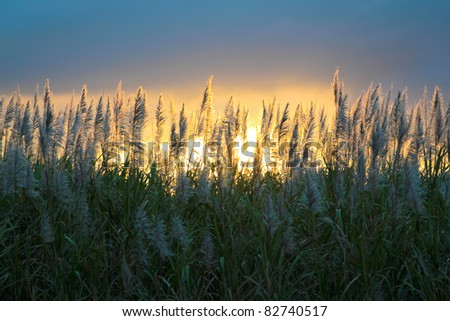 Sugar cane flower over sunset Mauritius - stock photo