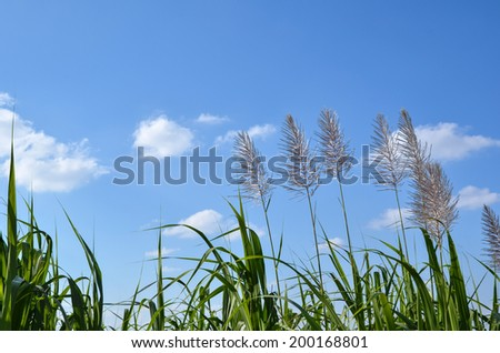 Sugar cane flowers at the island Okinawa in Japan - stock photo