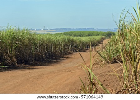 Sugar cane, grassy of the genus Saccharum, used on a large scale in tropical countries for the production of sugar and ethanol, in Cordeiropolis, SP, Brazil