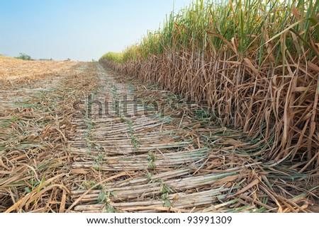 Sugar cane harvesting season,thailand - stock photo
