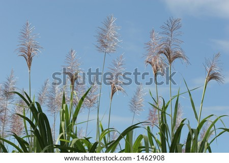 Sugar cane (landscape) - stock photo