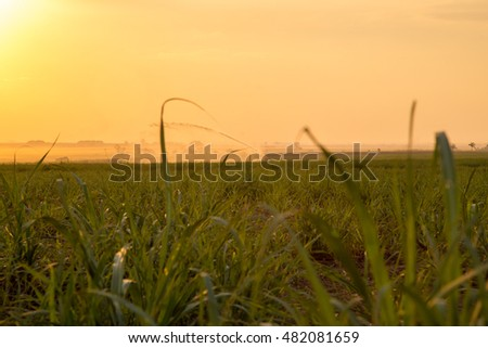 Sugar cane plantation irrigation sunset