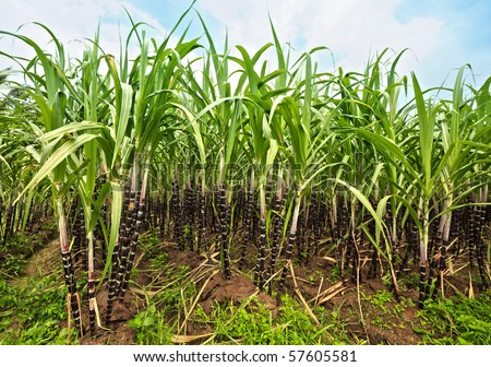 Sugar cane plantation. Khanh Hoa province. Vietnam - stock photo