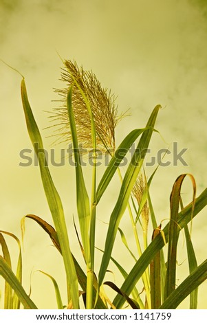 Sugar cane stalks and flower head against golden sky. - stock photo