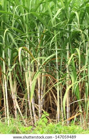 Sugar cane used for sugar. - stock photo