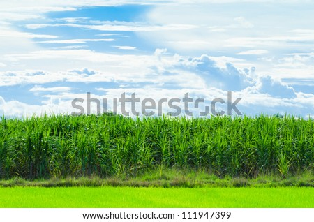 sugar cane with sky in thailand - stock photo