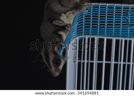 Sugar Glider on branch against a black background/Sugar Glider/Sugar Glider (Petaurus Breviceps)