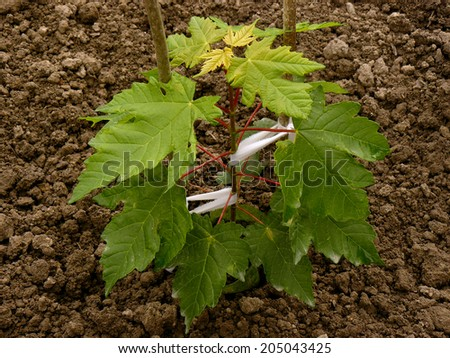 sugar maple sapling three months from germination - stock photo