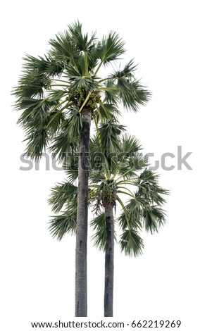 sugar palm isolate background