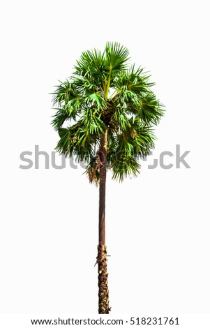 Sugar palm on the white background.