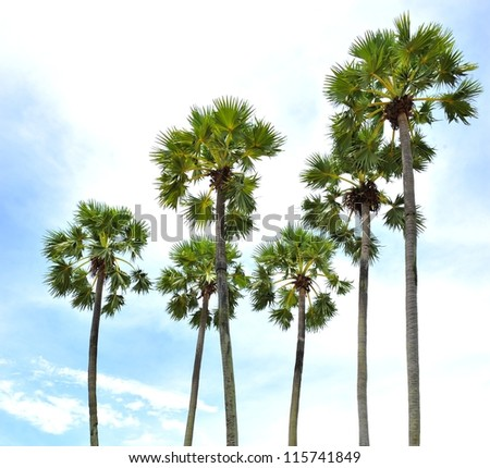 Sugar palm tree against a blue sky