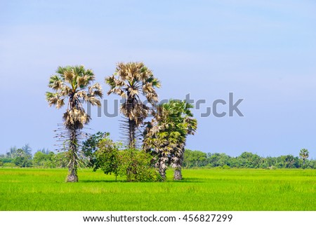 sugar palm tree in rice field on blue sky background,select focus with shallow depth of field:ideal use for background. - stock photo