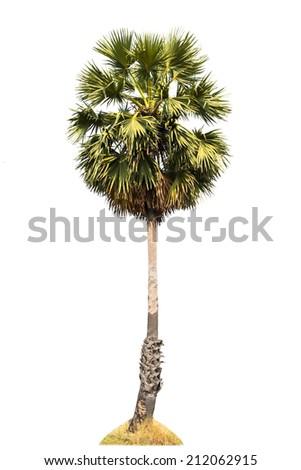 Sugar palm tree isolated on white background - stock photo