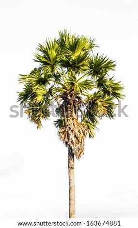 Sugar palm tree on the white background. - stock photo