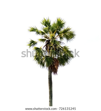 Sugar palm tree on white background