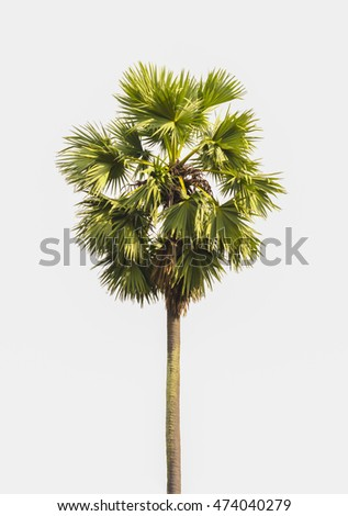 sugar palm trees on white background