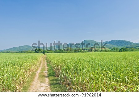 Sugarcane and road with mountain and blue sky - stock photo