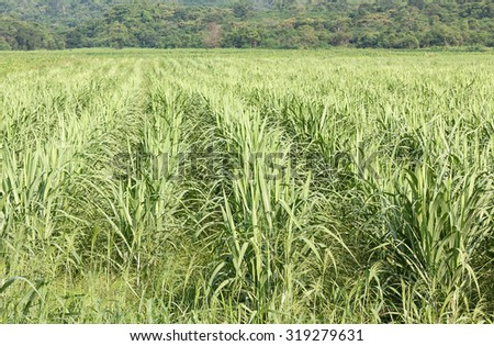 Sugarcane as early growth field in rural - stock photo