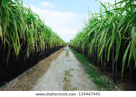 sugarcane field and trail - stock photo