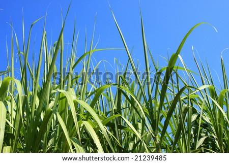 sugarcane field closeup - stock photo