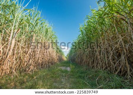 Sugarcane field in blue sky  - stock photo