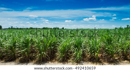 Sugarcane field in blue sky and white cloud in Thailand