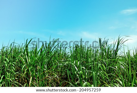 Sugarcane field on blue sky background - stock photo