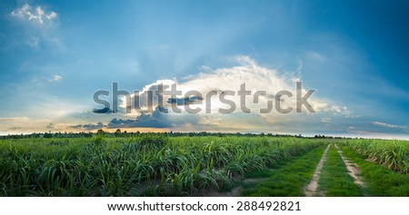 sugarcane field with blue sky panorama view. - stock photo
