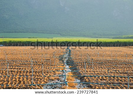 Sugarcane field with watering vegetable garden in front. - stock photo