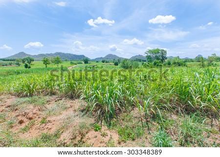 Sugarcane fields, mountains - stock photo