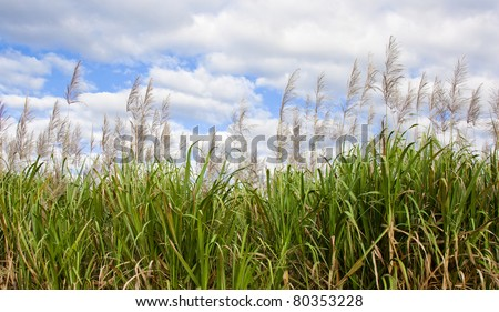 sugarcane in flower with sky background - stock photo