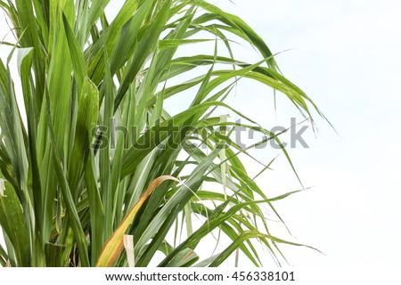 sugarcane  make sugar for food or desert ,sugarcane is industrial drop