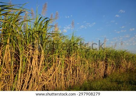 sugarcane plantation - stock photo